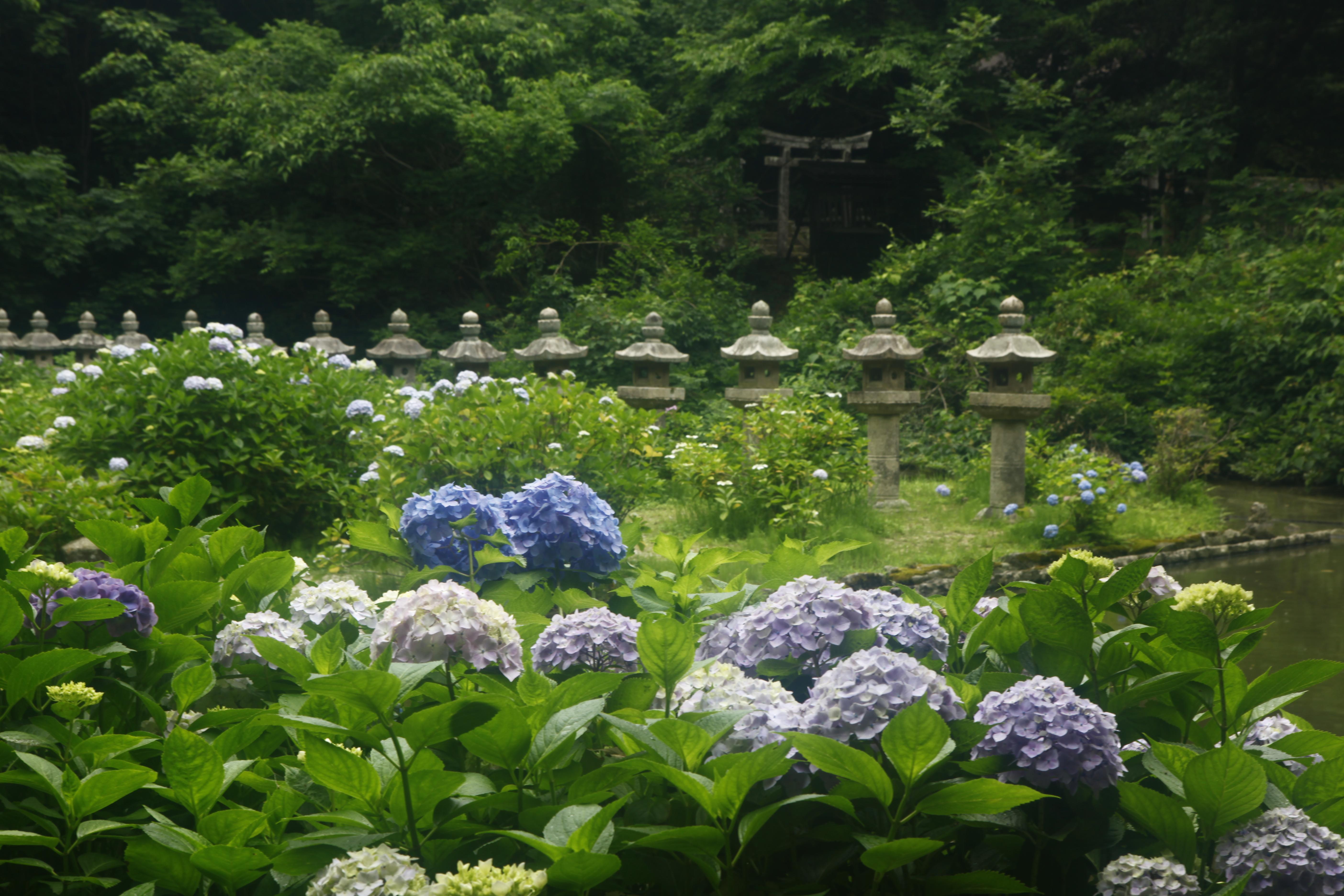 6月に咲く花 名所めぐり 紫陽花 しょうぶかきつばた ポピー 山陰